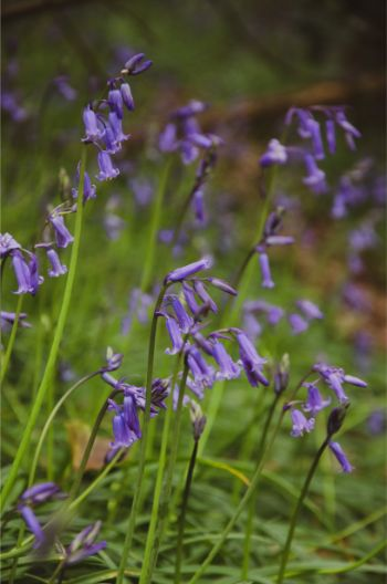 bluebell close up in Hollacombe Forest