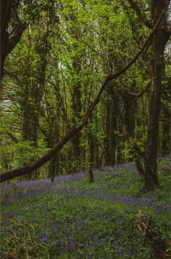Wembury wood in spring with bluebells in the green grass