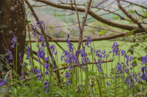 bluebell close up in Traine Forest