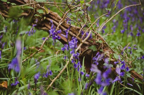 bluebell close up in Wembury Forest