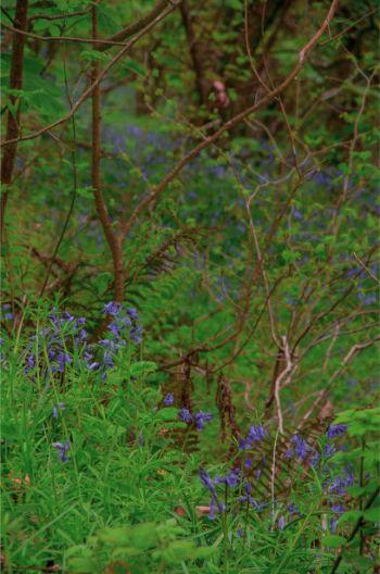 bluebells around Wembury Wood in South Devon, UK