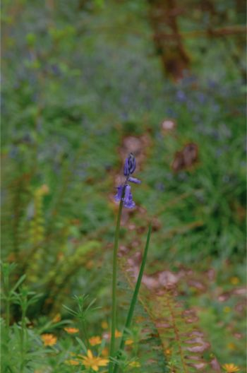 single British bluebell in Wembury, Devon, England