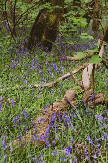 bluebells around a fallen branch in Traine Wood, Devon, UK