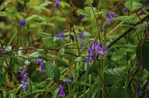 close up of deliate bluebells in Hembury Wood