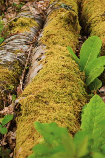 cut birch tree branches lying in Hembury Wood