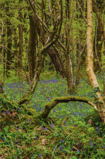 bluebells sprouting from green grass beneath oak trees in Hembury Wood