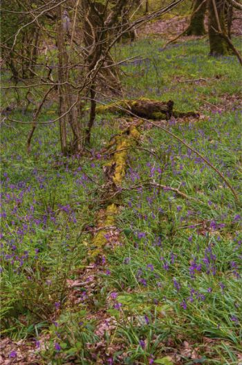 some bluebells next to a fallen tree in Hembury Wood