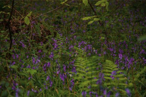 bluebells hidden underneath ferns in Hembury Wood