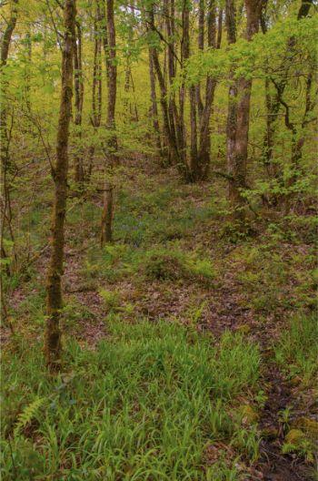 spring green foliage in Hembury Wood