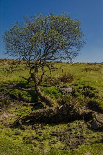 tree near Emsworthy Mire