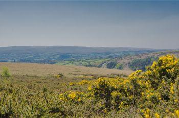 yellow flowers in Dartmoor National Park, England