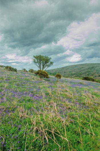 Holwell Lawn with bluebells on an overcast day