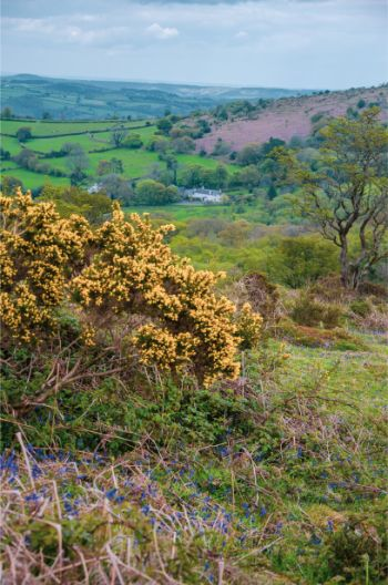 yellow flowers in Dartmoor National Park, England