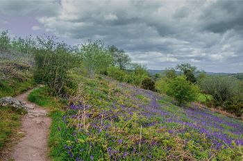 Holwell Lawn with bluebells near bush paths on an overcast day