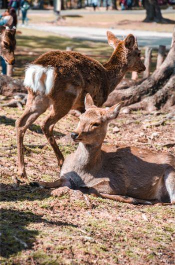 Nara deer chilling in the sun