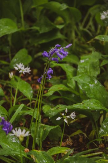 bluebells and wild garlic