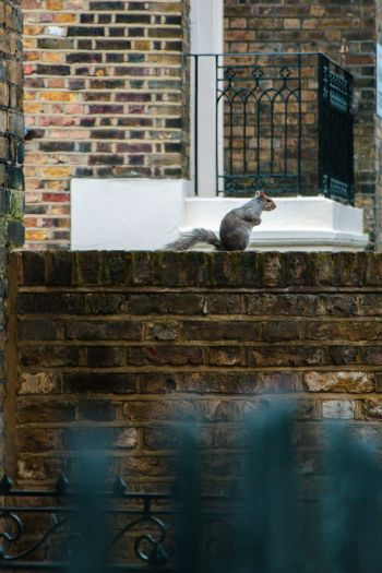 squirrel on a brick wall in Islington, England