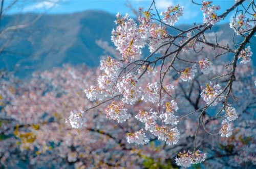 white cherry blossomsby Lake Kawaguchi in Japan