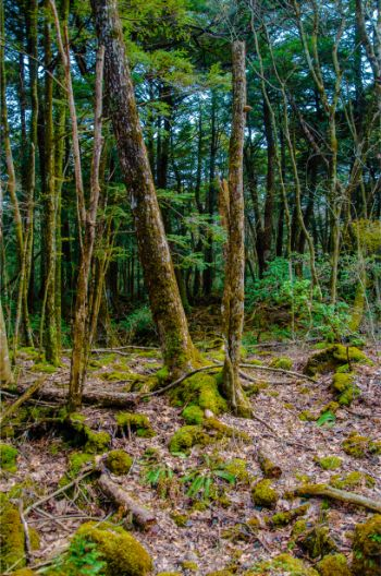 Aokigahara Forest with moss covered trees near Kawaguchiko, Japan