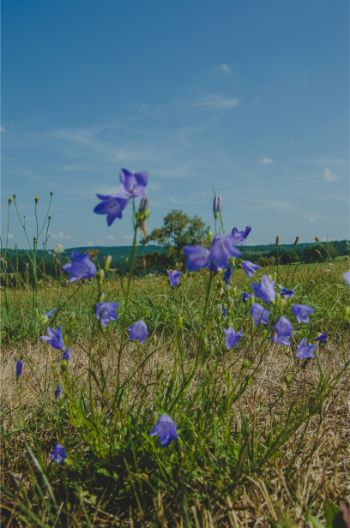 purple bell flowers on a meadow along the Vogtland trail, Germany