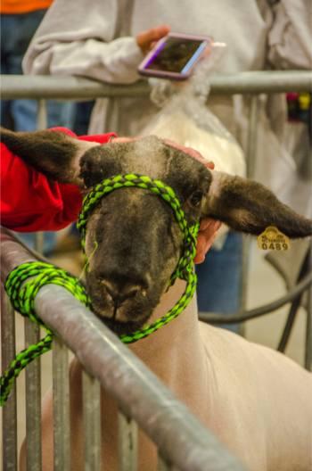 showmanship lamb at NC State Fair 2019