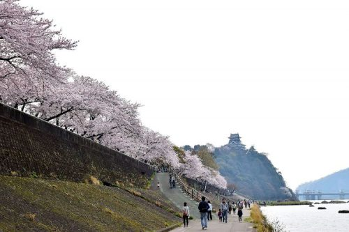 Inuyama Castle with riverwalk view and sakura trees