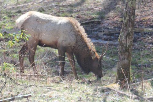 Elk in Catalooche