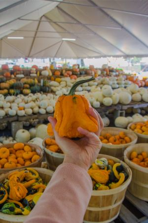 tiny orange pumpkin on farmers market in NC in the fall