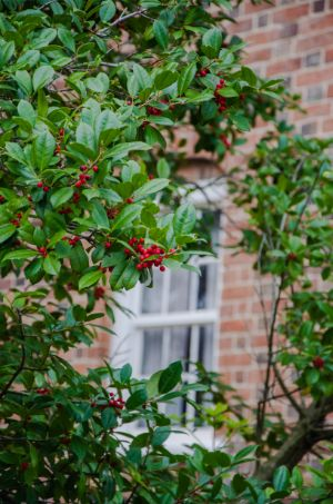 holly in front of brick building in Old Salem NC