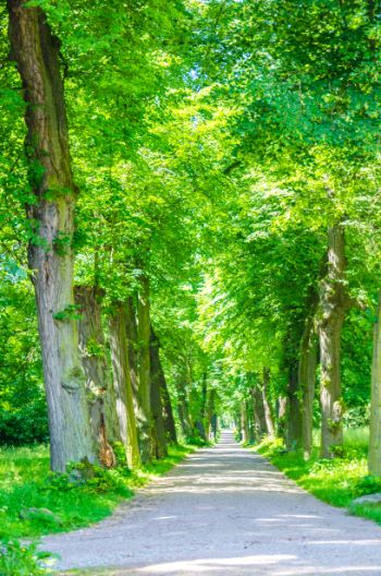 green alley of trees in summer
