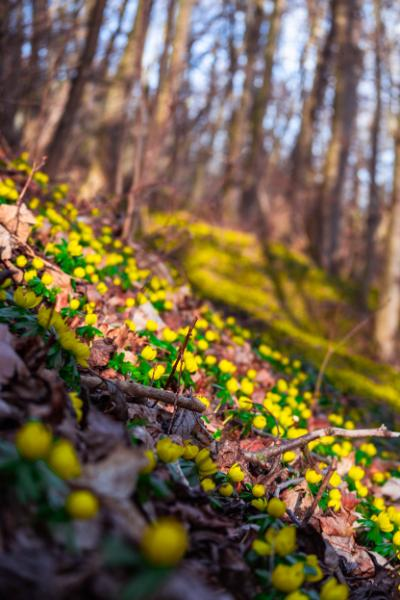 yellow forest floor with winter aconites