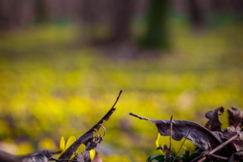 blurry carpet of yellow winter aconites with dry leaves in foreground