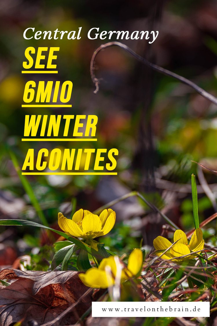 Pin: Winter Aconites in Jena, Germany