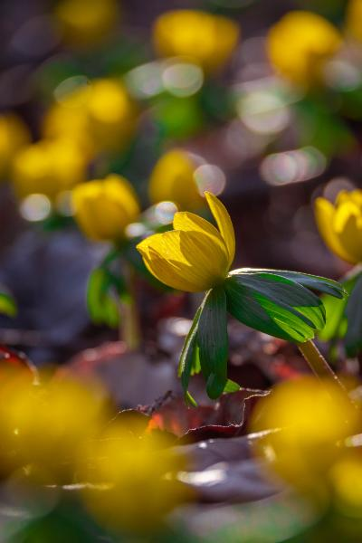close up from ground of winter aconites