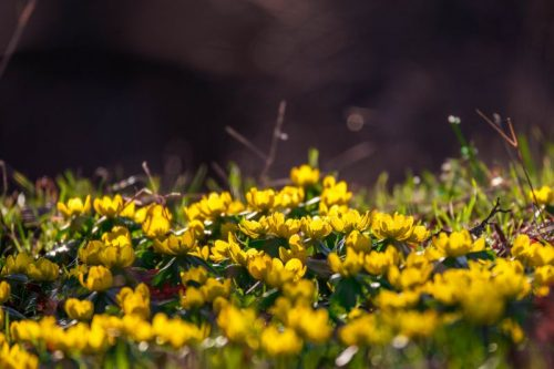 winter aconites with direct sunlight on meadow