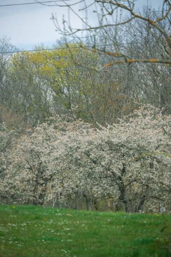 old cherry trees on a hill
