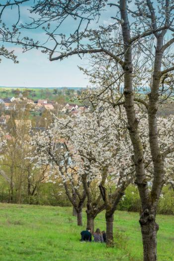line of cherry trees in Jena