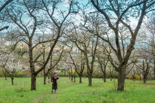 woman standing under cherry trees in Jena, Germany